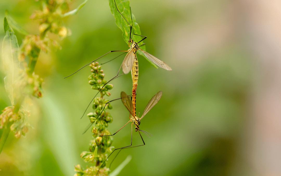 mug op een plant, malaria in Ghana
