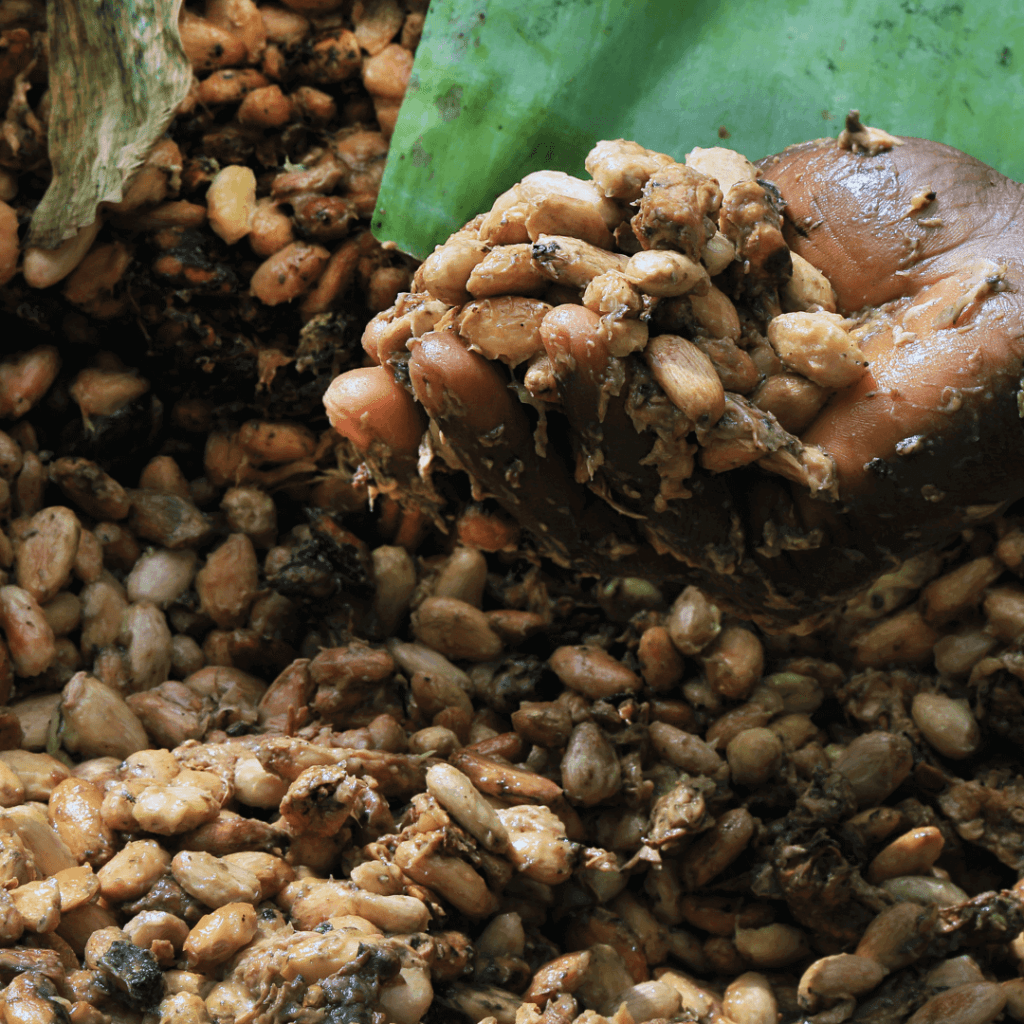 fermenting of cocoa