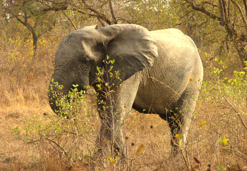 Elephant in Mole National Park