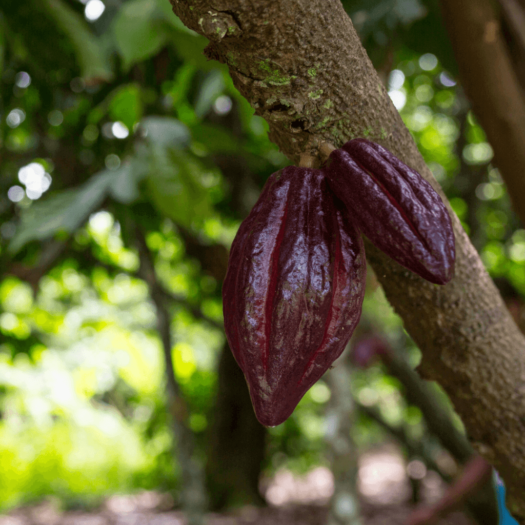 cacao aan de boom