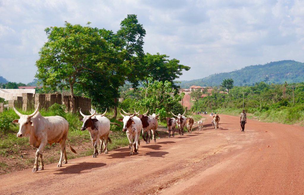 De fullani met zijn koeien