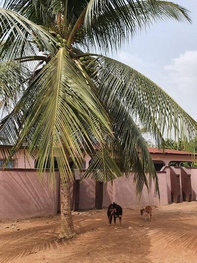 Hond bij palmboom in Banko, Ashanti