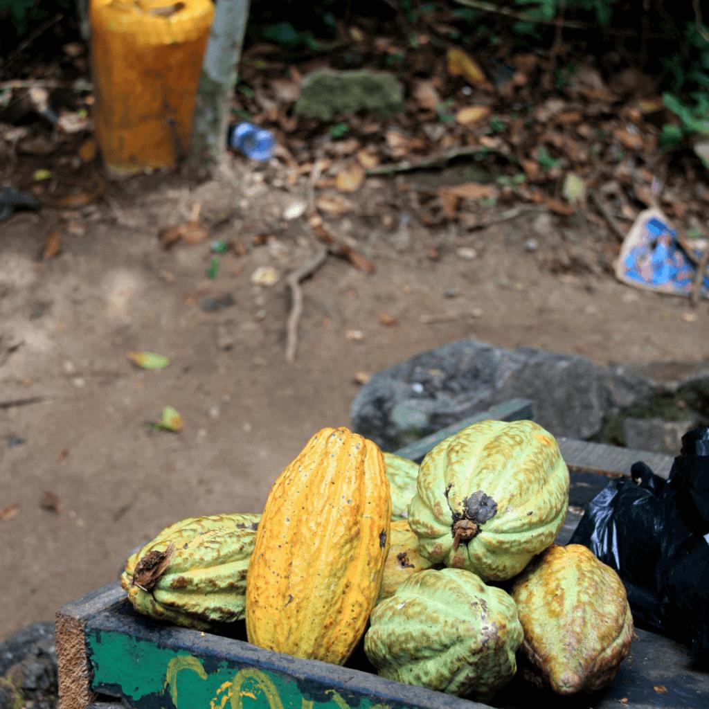 cacao op de plantage in Ghana