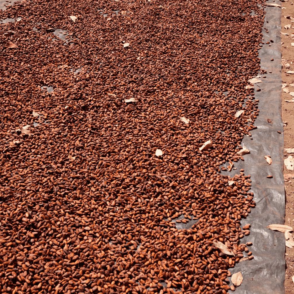 Drogen van cacao bonen